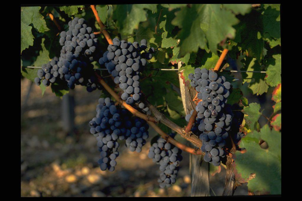 Vignobles Lobre - Raisins rouges