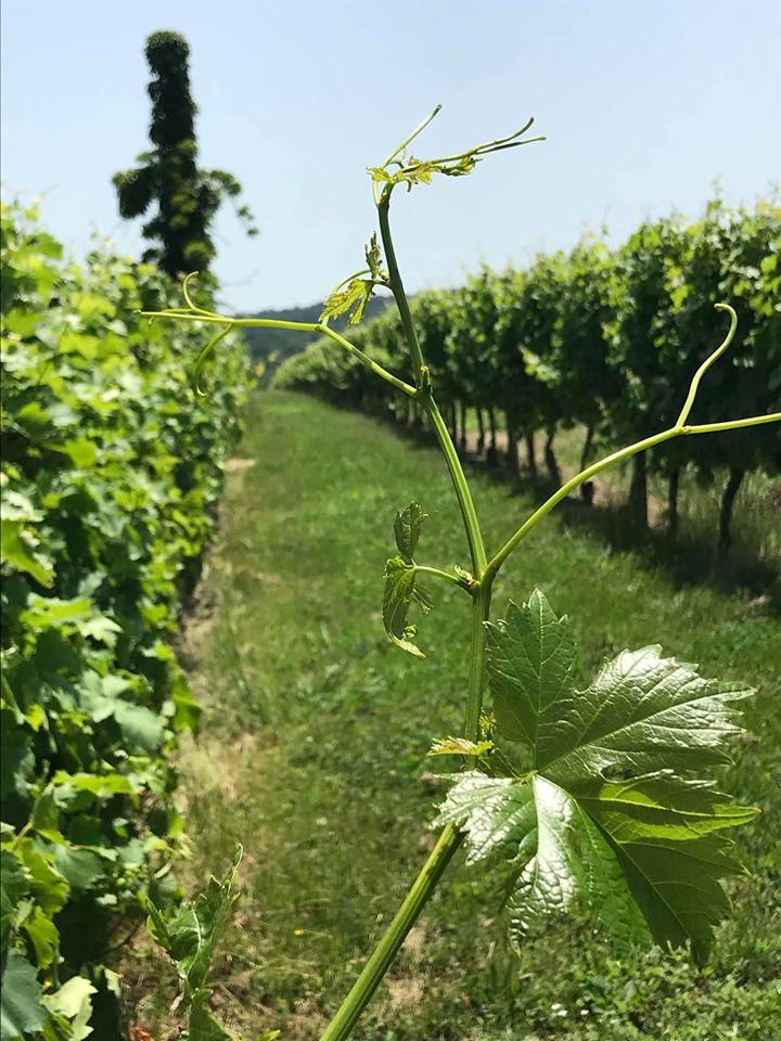 Vignoble Lobre - rang des vignes